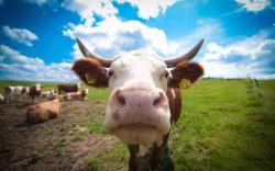 Коровы-киборги соберут данные для обучения нейросети