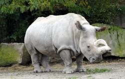 Ученые решили клонировать северных белых носорогов, чтобы спасти вид