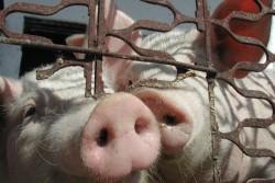 Китай сократит использование антибиотиков на фермах