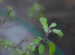 Молекулярные моторы помогают растениям чувствовать гравитацию
