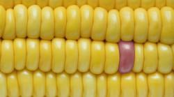 25 июля Европейский суд должен определить, какие растения считать ГМО