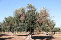Дистанционный метод ранней диагностики «заболевших» оливковых деревьев