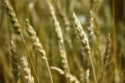 Идеал растительной пищи: резидент «Сколково» экспериментирует с проростками семян
