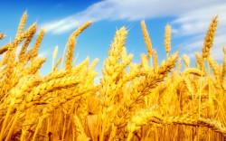 Ученые Татарстана разработали штаммы против стрессов сельхозкультур