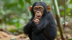 Черты личности шимпанзе связаны со строением их мозга