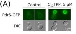 Светящиеся белки не помогли ученым обмануть оборону дрожжей