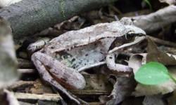 Учёные обнаружили происхождение грибка, который убивает земноводных
