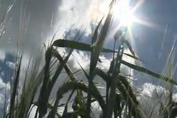 Новосибирские учёные отредактировали геном ячменя и получили растение с заданными свойствами