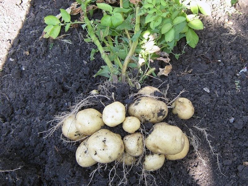 куст картофель