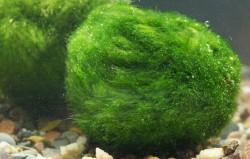 Раскрыт секрет тонущих на ночь водорослей