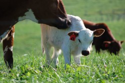 Перевод коров на белковую диету снизит выбросы парниковых газов