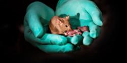 Ученые впервые вывели здоровых мышат у однополых родителей