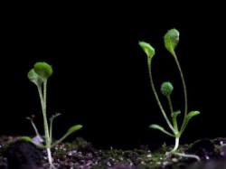 Производство гормона в корнях растений помогает им выживать