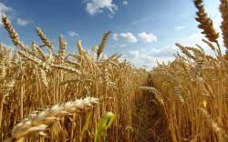 Предложена оптимальная стратегия выращивания пшеницы в Северной Евразии