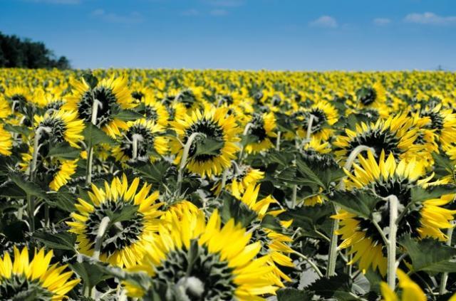 sunflower_summer_yellow_flora_napim_d_1018563-_1_