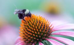 Пчелы с крошечными сенсорными рюкзачками помогут фермерам следить за урожаем