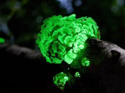 Ученые из институтов РАН раскрыли тайну свечения лесных грибов-«гнилушек»