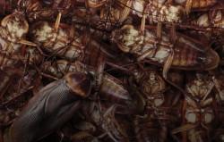 Китай выращивает армию тараканов для разрешения мусорного кризиса