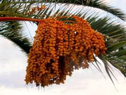 Биологи научились определять пол финиковой пальмы