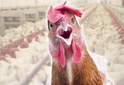 Курицы оказались эффективными биореакторами