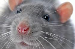 Ученые СПбГУ и их коллеги из Бельгии создали вечно счастливых крыс