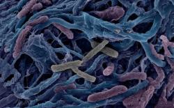 Бактерии могут жертвовать собой для спасения сородичей