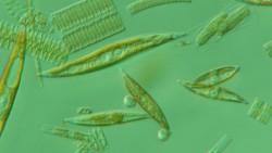 Мурманские ученые планируют применить водоросли Арктики для очистки воды