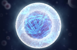 Выяснена роль каркаса клеточного ядра в упаковке генома