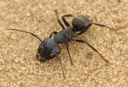 Из муравьев выделили новый штамм актинобактерий и антибиотик