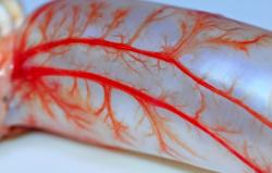 Найден недостающий ингредиент для создания кровеносных сосудов в пробирке