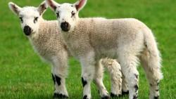 Споры о клонировании: безопасна ли еда из клонов, спасут ли вымирающие виды и мучаются ли «скопированные» животные
