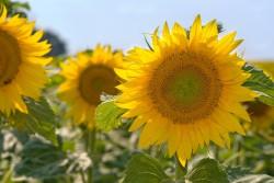 Минсельхоз разработал концепцию подпрограммы ФНТП по селекции и семеноводству масличных культур