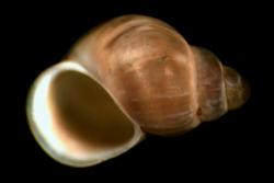Найдены улитки-псевдогермафродиты, которые помогут в анализе загрязнений морей