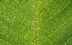 Найден способ быстро и просто анализировать форму клеток эпидермиса листьев у растений