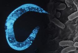 Круглые черви передали по наследству знание об опасной бактерии