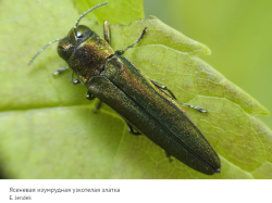 Определитель от российских ученых поможет спасти ясень