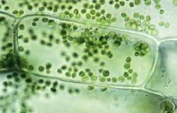 Раскрыт секрет регуляции фотосинтеза
