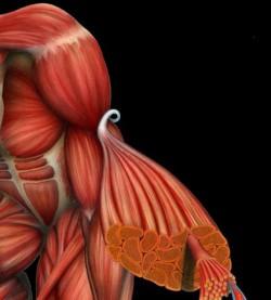 Инженеры создали искусственные мышцы, которые работают на глюкозе