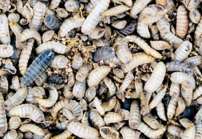 личинки насекомые