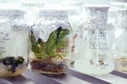 Репортаж из Никитского ботанического сада, где выращивают не подверженные вирусам растения