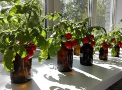 В ТГУ создали новый раствор для выращивания томатов без использования грунта
