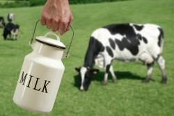 Микрофлора коровьего кишечника определяет качество молока
