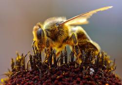 Для защиты пчел от патогенов модифицировали бактерии