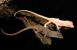 Первые рептилии, которым отредактировали гены