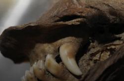Генетики восстановили и секвенировали РНК мумифицированного волка, жившего 14 тыс. лет назад