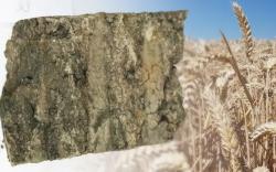 Глауконит повышает урожаи пшеницы