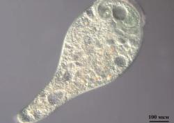 Биологи изучили микробиом инфузорий