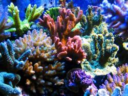 В США впервые вырастили в лаборатории исчезающий вид кораллов