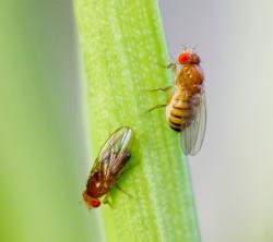 У мух-долгожителей изучили активность генов