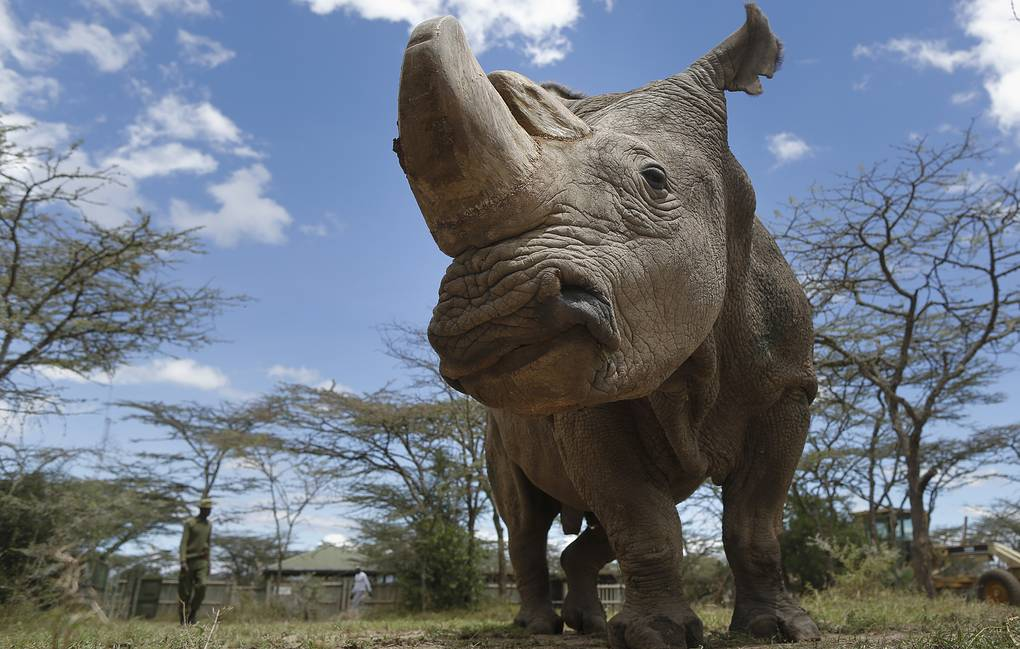 epa06615210 (FILE) - Forty three-year-old Sudan, the last surviving male northern white rhino on the planet, looks on at Ol Pejeta Conservancy near Nanyuki, some 200 kilometers north of Nairobi, Kenya, 03 May 2017 (reissued 20 March 2018). Ol Pejeta Conservancy, where Sudan and the world's last two female northern white rhinos live, announced on 20 March that forty five-year-old Sudan has died at the Conservancy on 19 March. Sudan was suffering from degenerative changes in muscles and bones combined with skin wounds so that the veterinary team had to make a decision to euthanize him, Ol Pejeta Conservancy said in a statement. With Sudan's death, the world is left with just two female nortthern whino rhinos.  EPA-EFE/DAI KUROKAWA